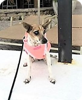 Rat Terrier Mix Dog for adoption in Ft. Lauderdale, Florida - Mia