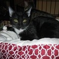 Adopt A Pet :: Licorice - Arlington, TX