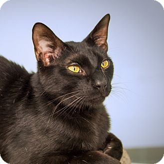 Domestic Shorthair Cat for adoption in Houston, Texas - Annie