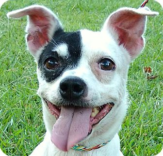 Terrier (Unknown Type, Small)/Chihuahua Mix Dog for adoption in Cedartown, Georgia - Cricket