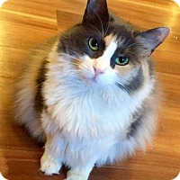 Domestic Longhair Cat for adoption in Harrison, New York - Starburst