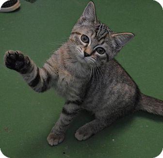 Domestic Mediumhair Kitten for adoption in South Haven, Michigan - Mini Sue