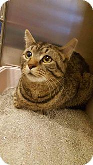 Domestic Shorthair Cat for adoption in Bensalem, Pennsylvania - Mango