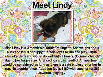 Yorkie, Yorkshire Terrier/Pekingese Mix Puppy for adoption in Sumter, South Carolina - Lindy