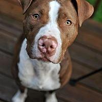 Adopt A Pet :: Tyson - Durham, NC