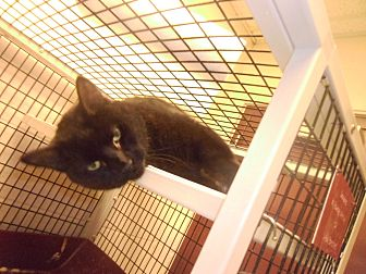 Domestic Shorthair Cat for adoption in Muscatine, Iowa - Manny