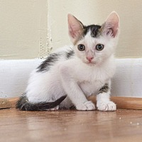 Domestic Shorthair Kitten for adoption in Nashville, Tennessee - Tulip