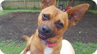 Chihuahua/Corgi Mix Dog for adoption in Southington, Connecticut - Axel