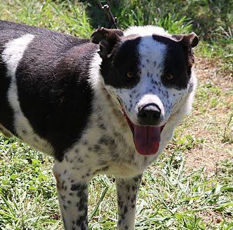 Border Collie/Australian Cattle Dog Mix Dog for adoption in Bandera, Texas - Edward