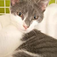 Adopt A Pet :: King Louie - Chesapeake, VA