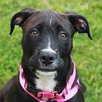 Adopt A Pet :: Princess Oreo - Westminster, MD