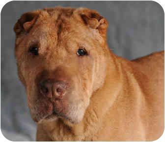 Shar Pei Dog for adoption in Chicago, Illinois - Lilu