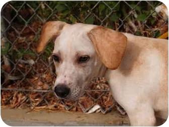 Labrador Retriever/Shar Pei Mix Puppy for adoption in El Cajon, California - Topaz
