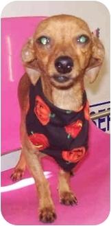Dachshund/Chihuahua Mix Dog for adoption in Sacramento, California - Tamu