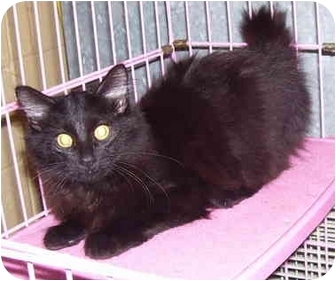 Domestic Mediumhair Cat for adoption in Somerset, Pennsylvania - Harry