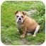 Photo 3 - English Bulldog Dog for adoption in Gilbert, Arizona - Daphne*adoption pending*