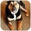 Photo 1 - German Shepherd Dog/Shepherd (Unknown Type) Mix Dog for adoption in Seattle, Washington - Sashabelle