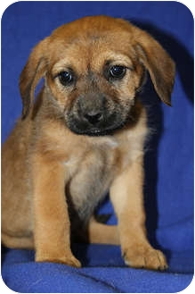 Labrador Retriever/Fox Terrier (Wirehaired) Mix Puppy for adoption in Broomfield, Colorado - Aria