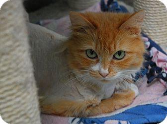 Domestic Mediumhair Cat for adoption in Lunenburg, Massachusetts - Emma