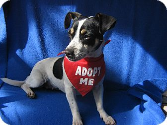 Rat Terrier/Jack Russell Terrier Mix Dog for adoption in Irvine, California - Aubrey (watch my video)