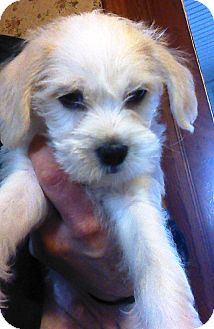 Terrier (Unknown Type, Small) Mix Puppy for adoption in Kalamazoo, Michigan - Donny