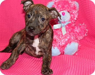Pit Bull Terrier Mix Puppy for adoption in Salem, New Hampshire - Faith