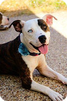 Pit Bull Terrier/Australian Cattle Dog Mix Dog for adoption in justin, Texas - Star