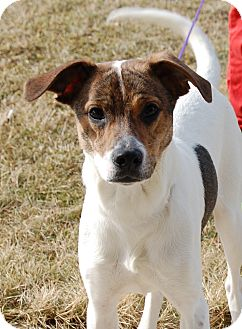 Terrier (Unknown Type, Medium)/Pointer Mix Dog for adoption in Bucyrus, Ohio - Zombie Hunter
