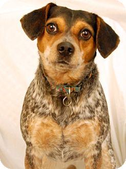 Australian Cattle Dog/Beagle Mix Dog for adoption in Newland, North Carolina - Kyah