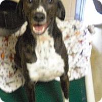 Adopt A Pet :: Mattie - Wickenburg, AZ