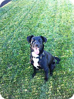 Labrador Retriever Mix Dog for adoption in Pierrefonds, Quebec - CupCake