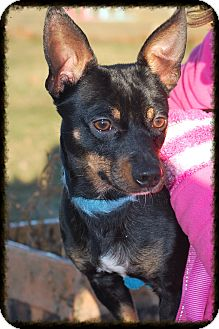 Miniature Pinscher/Chihuahua Mix Dog for adoption in Elyria, Ohio - Chester