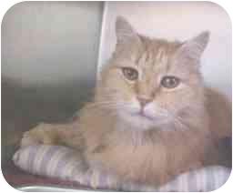 Domestic Longhair Cat for adoption in Lunenburg, Massachusetts - Jack