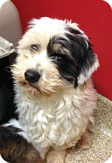 Coton de Tulear Dog for adoption in Fairview Heights, Illinois - Jerry