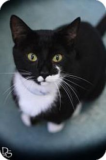 Domestic Shorthair Cat for adoption in Parma, Ohio - Josiah