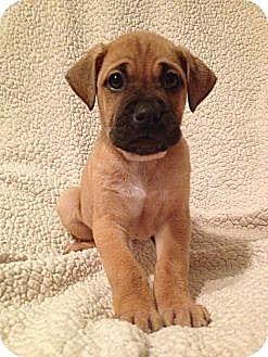 Labrador Retriever/Boxer Mix Puppy for adoption in Long Beach, California - Ruby's Pup 1