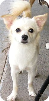 Chihuahua Mix Dog for adoption in High View, West Virginia - Jasper