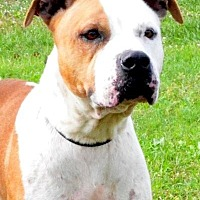 American Bulldog Dog for adoption in Sebastian, Florida - Daisy