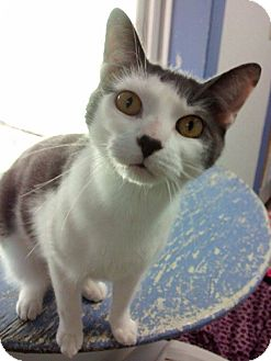 Domestic Shorthair Cat for adoption in Springfield, Vermont - Thomasina