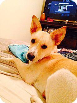 Carolina Dog Mix Puppy for adoption in Cranston, Rhode Island - Cassie (fostered in NC)