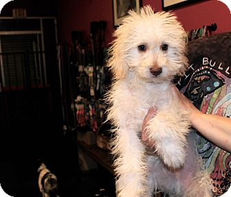 Labradoodle Mix Puppy for adoption in Los Angeles, California - Bernie