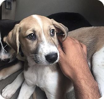 Retriever (Unknown Type)/Whippet Mix Puppy for adoption in WADSWORTH, Illinois - JOY