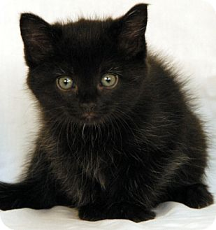 Domestic Shorthair Kitten for adoption in Newland, North Carolina - Primo