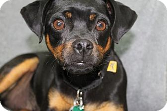 Pug/Miniature Pinscher Mix Dog for adoption in London, Ontario - Aubree (now Coco)