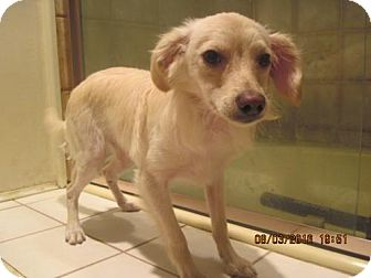 Spaniel (Unknown Type)/Chihuahua Mix Dog for adoption in La Mesa, California - SIMON
