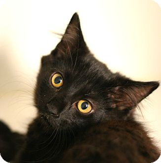 Domestic Shorthair Kitten for adoption in Staunton, Virginia - Tidy Tim