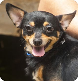 Chihuahua Mix Dog for adoption in Woodstock, Georgia - Gizmo