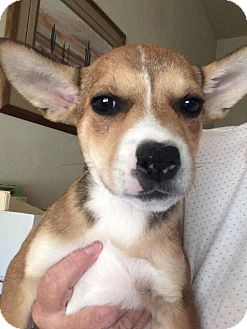 Australian Cattle Dog/Border Collie Mix Puppy for adoption in Cave Creek, Arizona - Gemma