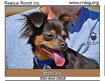 Chihuahua/Papillon Mix Dog for adoption in Yreka, California - Becky