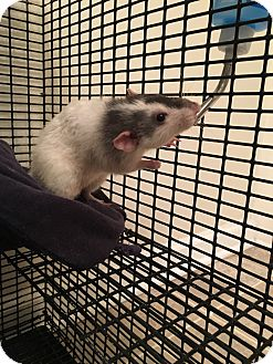 Rat for adoption in Morgantown, West Virginia - Simon and Garfunklel